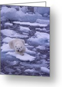 Ice Floes Greeting Cards - A Polar Bear Drifts On Floating Ice Greeting Card by Gordon Wiltsie