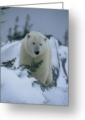 Precipitation Greeting Cards - A Polar Bear In A Snowy, Twilit Greeting Card by Norbert Rosing