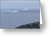 Ice Floes Greeting Cards - A Polar Bear Looks Across The Water Greeting Card by Paul Nicklen