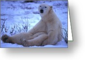 Laziness Greeting Cards - A Polar Bear Sits In The Snow Greeting Card by Nick Norman