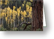 Image Type Photo Greeting Cards - A Ponderosa Pine Tree Among Aspen Trees Greeting Card by Bill Hatcher