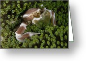 Sea Anemones Greeting Cards - A Porcelain Crab In Sea Anemones Greeting Card by David Doubilet