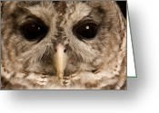 Barred Owl Greeting Cards - A Portrait Of A Barred Owl Strix Varia Greeting Card by Joel Sartore