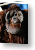 Orangutans Greeting Cards - A Portrait Of A Captive Orangutan Pongo Greeting Card by Tim Laman