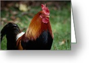 Gallus Gallus Greeting Cards - A Portrait Of A Captive Red Junglefowl Greeting Card by Tim Laman