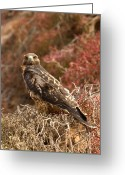 Bartolome Greeting Cards - A Portrait Of A Galapagos Hawk Greeting Card by Ralph Lee Hopkins
