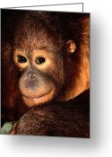 Orangutans Greeting Cards - A Portrait Of A Juvenile Orangutan Greeting Card by Tim Laman