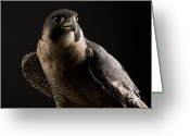 Raptor Photography Greeting Cards - A Portrait Of A Peregrine Falcon Falco Greeting Card by Joel Sartore