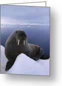 Walruses Greeting Cards - A Portrait Of An Atlantic Walrus Greeting Card by Paul Nicklen