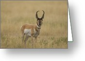 Lewistown Greeting Cards - A Pronghorn Antelope At Charles M Greeting Card by Joel Sartore