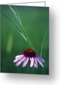 Image Type Photo Greeting Cards - A Purple Coneflower And A Stalk Greeting Card by Annie Griffiths