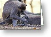 Two-faced Greeting Cards - A Purple-faced Langur Grooms The Fur Greeting Card by Jason Edwards