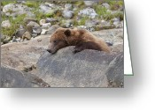 Grizzly Bears Greeting Cards - A Quick Nap Greeting Card by Tim Grams