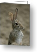 Henry Doorly Zoo Greeting Cards - A Rabbit From The Omaha Zoo Greeting Card by Joel Sartore