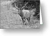 Bull Greeting Cards - A Rack of Antlers - Roosevelt Elk - Olympic National Park WA Greeting Card by Christine Till