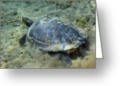 Red Bay Greeting Cards - A Red-bellied Cooter Turtle Greeting Card by Terry Moore