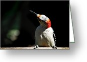 Woodpecker Photos Greeting Cards - A Red Belly Greeting Card by Skip Willits