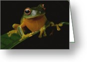 Red-eyed Frogs Greeting Cards - A red-eye tree frog Greeting Card by George Grall