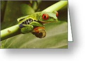 Red-eyed Frogs Greeting Cards - A Red-eyed Frog Perches On A Stem Greeting Card by Steve Winter