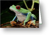 Red-eyed Frogs Greeting Cards - A Red-eyed Tree Frog Agalychnis Greeting Card by George Grall