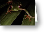 Red-eyed Frogs Greeting Cards - A Red Eyed Tree Frog, Agalychnis Greeting Card by Medford Taylor