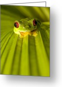 Red-eyed Frogs Greeting Cards - A Red-eyed Tree Frog Sitting On A Palm Greeting Card by Roy Toft
