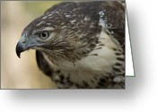 Property Released Photography Greeting Cards - A Red-tailed Hawk Buteo Jamaicensis Greeting Card by Joel Sartore