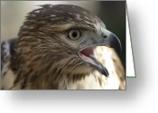 Property Released Photography Greeting Cards - A Red-tailed Hawk In Lincoln, Nebraska Greeting Card by Joel Sartore
