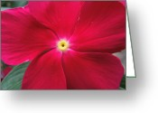 Vinca Flowers Greeting Cards - A Red Vinca Flower Greeting Card by Chad and Stacey Hall