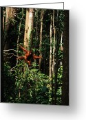 Orangutans Greeting Cards - A Rehabilitated Juvenile Orangutan Greeting Card by Tim Laman