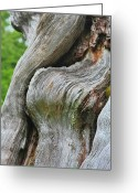 Tranquility Greeting Cards - A Remarkable Tree - Duncan Western Red Cedar Olympic National Park WA Greeting Card by Christine Till