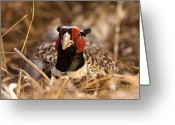 Game Animals Photo Greeting Cards - A Ring Necked Pheasant Phasianus Greeting Card by Joel Sartore