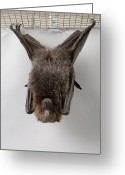 Bat Greeting Cards - A Rodrigues Fruit Bat Pteropus Greeting Card by Joel Sartore
