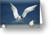 Oceans And Seas Greeting Cards - A Royal Tern Descending In Flight Greeting Card by Klaus Nigge