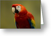 Captive Animals Greeting Cards - A Scarlet Macaw Ara Macao Greeting Card by Joel Sartore