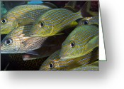 Tropical Fish Greeting Cards - A School Of Blue Striped And White Greeting Card by Terry Moore