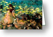 Reefs Greeting Cards - A School Of Bluelined Triggerfish Swim Greeting Card by Tim Laman