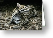 Secretive Greeting Cards - A Secretive Ocelot Rests Greeting Card by Jason Edwards