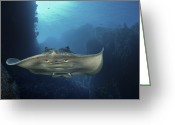 Number Greeting Cards - A Short-tailed Stingray Swimming In An Greeting Card by Brian J. Skerry