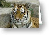 Siberian Tiger Greeting Cards - A Siberian Tiger At The Henry Doorly Greeting Card by Joel Sartore
