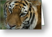 Fur Stripes Greeting Cards - A Siberian Tiger Panthera Tigris Greeting Card by Joel Sartore