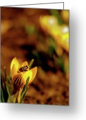 Yellow Crocus Greeting Cards - A Sign of Spring Greeting Card by Rona Black