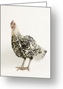 Looking At Camera Greeting Cards - A Silver Spangled Hamburg Chicken Greeting Card by Joel Sartore