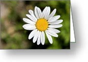 Aster  Photo Greeting Cards - A Single Daisy Greeting Card by Karon Melillo DeVega