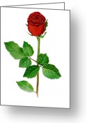 Single Rose Greeting Cards - A Single Rose Greeting Card by Irina Sztukowski