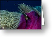 Sea Anemones Greeting Cards - A Skunk Clownfish Nestles In Its Host Greeting Card by David Doubilet