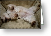 Terriers Greeting Cards - A Sleeping Maltese Dog Lies In Awkward Greeting Card by Stephen St. John