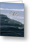 Pygoscelis Papua Greeting Cards - A Small Flock Of Gentoo Penguins Walk Greeting Card by Gordon Wiltsie