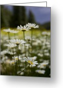 Santa Fe National Forest Greeting Cards - A Small Group Of Daisies Stands Greeting Card by Ralph Lee Hopkins