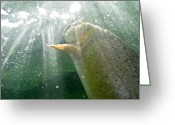 Point Of View Greeting Cards - A Snake River Fine Spotted Cutthroat Greeting Card by Drew Rush